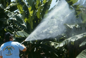 Spraying pesticides on bananas in the 1980s. Scott Nelson on Flikr. https://www.flickr.com/photos/scotnelson/9159665647