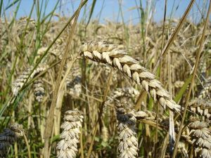 "Wheat: Gluten-rich ""Wheat close-up"" by User:Bluemoose - Own work. Licensed under "">CC BY-SA 3.0 via Wikimedia Commons."