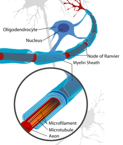 """""""Neuron with oligodendrocyte and myelin sheath"""" by Neuron_with_oligodendrocyte_and_myelin_sheath.svg: *Complete_neuron_cell_diagram_en.svg: LadyofHatsderivative work: Andrew c (talk) - Neuron_with_oligodendrocyte_and_myelin_sheath.svg. Licensed under Public Domain via Commons."""