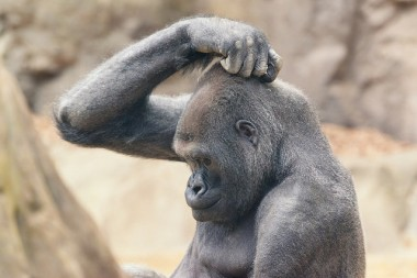 Gorilla Scratching Head. Eric Kilby on Flikr. https://www.flickr.com/photos/ekilby/18047130741