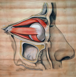 Muscles of the eye, circa 1900 by Double-M on Flikr. https://www.flickr.com/photos/double-m2/5551619158