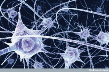 Neurones in the brain. Welcome Images on Flikr. https://www.flickr.com/photos/wellcomeimages/19923050858