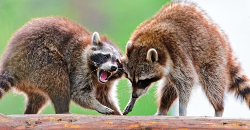 Raccoon argument II. Tambako The Jaguar on Flikr. https://www.flickr.com/photos/tambako/7460999402