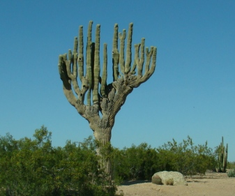 Purkinje cell Saguaro. Anita Gould on Flikr. https://www.flickr.com/photos/anitagould/3427285447