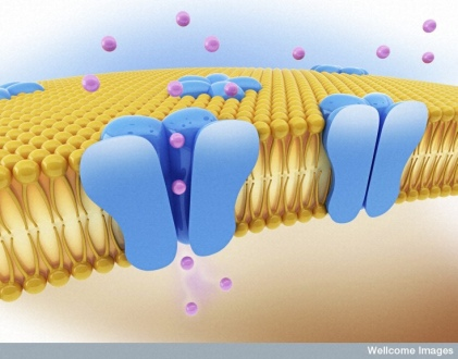 B0007683 Ion channels. Wellcome Images on Flikr. https://www.flickr.com/photos/wellcomeimages/5814248573