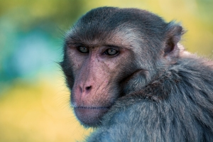 Rhesus Macaque. Robert Martinez on Flikr. https://www.flickr.com/photos/madrerik/16328787935