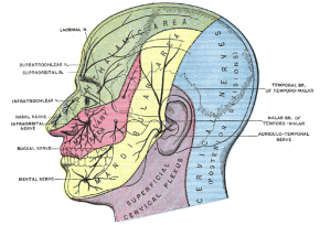 """By Henry Vandyke Carter - Henry Gray (1918) Anatomy of the Human Body (See """"Book"""" section below)Bartleby.com: Gray's Anatomy, Plate 784, Public Domain, https://commons.wikimedia.org/w/index.php?curid=531758"""
