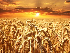 https://pixabay.com/en/wheat-field-wheat-cereals-grain-640960/