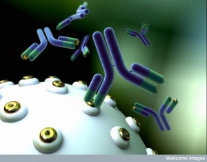 B0007277 Monoclonal antibodies Credit: Anna Tanczos. Wellcome Images images@wellcome.ac.uk http://images.wellcome.ac.uk