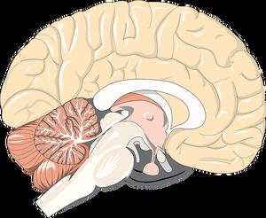 https://pixabay.com/en/brain-anatomy-neurology-medical-1132229/
